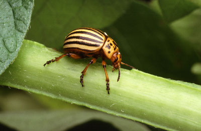 Picture of a Colorado potato beetle